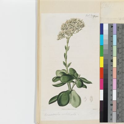 Crassula cultrata published illustration from Curtis's Botanical Magazine
