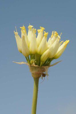 Allium erdelii