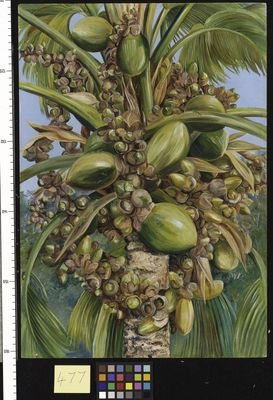 Female Coco de Mer bearing Fruit covered with small Green Lizards