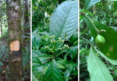 Amphirrhox longifolia(A.St.-Hil.) Spreng.