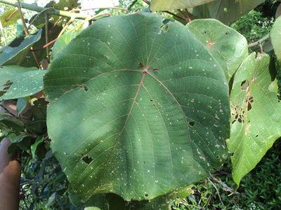 Macaranga indica