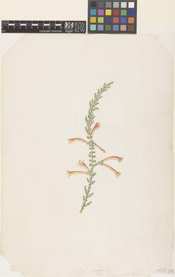 Erica curviflora