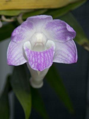 Dendrobium fairchildiae Ames & Quisumb.