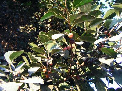 Ficus benjaminaL.