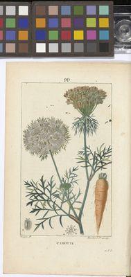 Carrot (Daucus carota), Flore Médicale