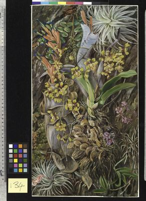 134. Group of Epiphytal Orchids and Bromeliads, Brazil.