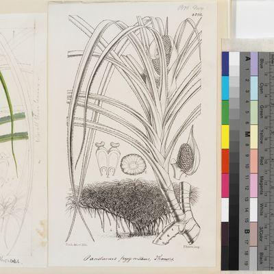 Pandanus pygmaeus Thouars published illustration from Curtis's Botanical Magazine