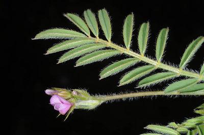 Onobrychis squarrosa