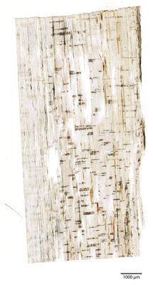 A specimen from Kew's microscope slide collection - radial longitudinal section of wood. Image ref: KMIC000783_2016.10.21-S3