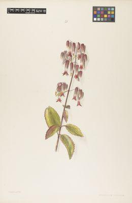 Crassulaceae: Bryophyllum calycinum