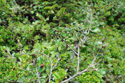 Cotoneaster rubens