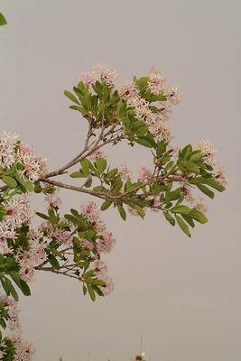 Dais cotinifolia