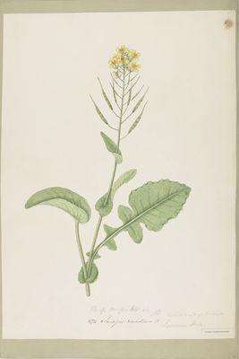 Sinapis dichotoma, watercolour on paper