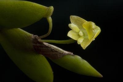 Dendrobium nathanielis Rchb.f.