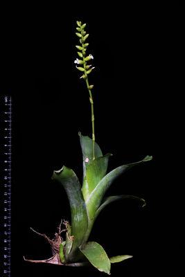 Catopsis nutans