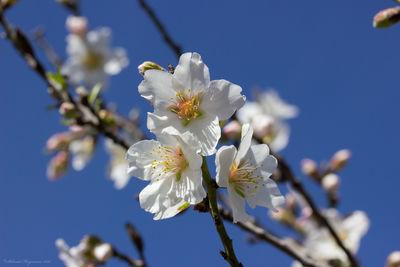 Prunus amygdalus