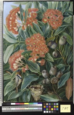 Flowers and Seed-vessels of a West Australian Gum Tree and Honeysuckers