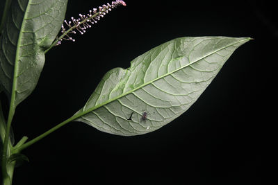 Phytolacca americana
