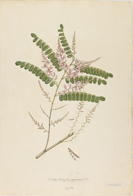 Indigofera purpurescens R., watercolour on paper