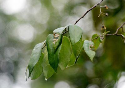 Hopea bilitonensis