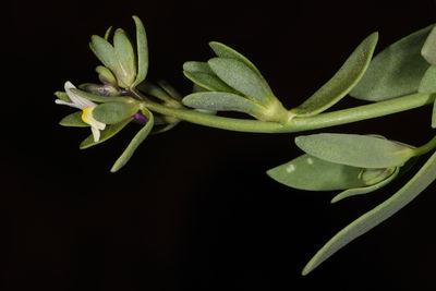 Linaria albifrons