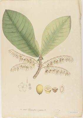 Elaeocarpus rugosus R., watercolour on paper
