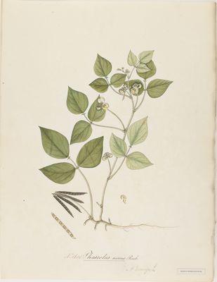Phaseolus aureus Roxb., watercolour on paper