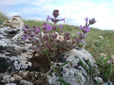 Clinopodium alpinum subsp. meridionale