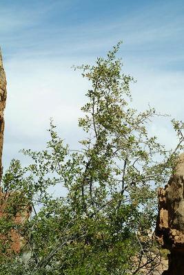 Searsia undulata