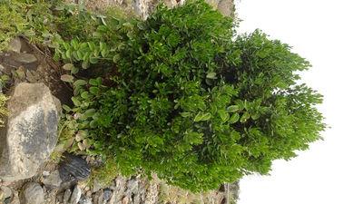 Buxus hildebrandtii