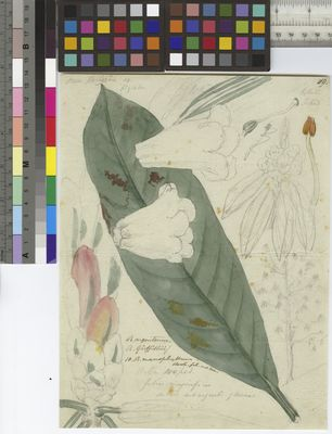 Rhododendron argenteum, Hooker