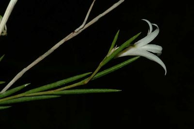 Dendrobium gracile