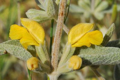 Phlomis brachyodon