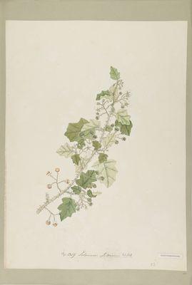 Solanum indicum Willd., watercolour on paper