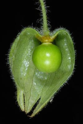 Physalis heterophylla
