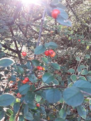 Cotoneaster poluninii