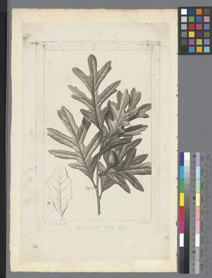 Quercus alba, uncoloured engraving on paper