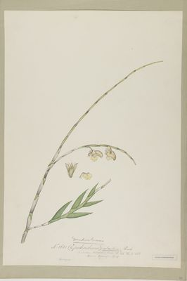 Dendrobium calceolum Roxb., watercolour on paper