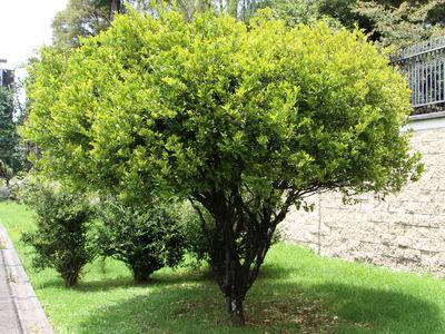 Citrus × limonia