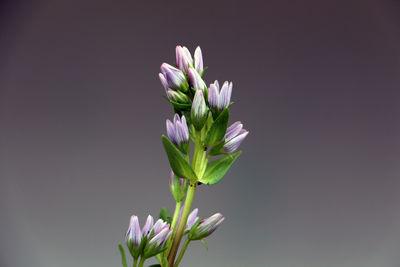 Gentianella atroviolacea (Gilg) Fabris ex T.N.Ho & S.W.Liu