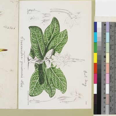 Crossandra guineensis Nees published illustration from Curtis's Botanical Magazine