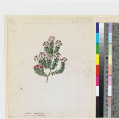 Erica primuloides Andr. original illustration from Curtis's Botanical Magazine