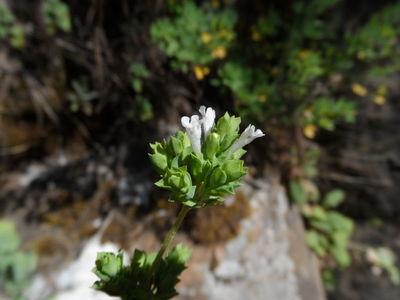 Origanum ehrenbergii Boiss.