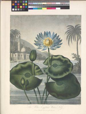 The Blue Egyptian Water Lily' (Nymphaea caerulea Savigny)