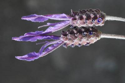 Lavandula pedunculata subsp. atlantica