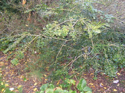 Buxus sempervirens 'Latifolia Pendula'