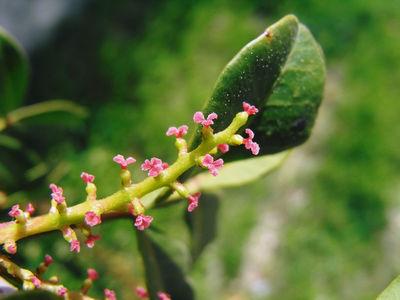 Pistachia lentiscus