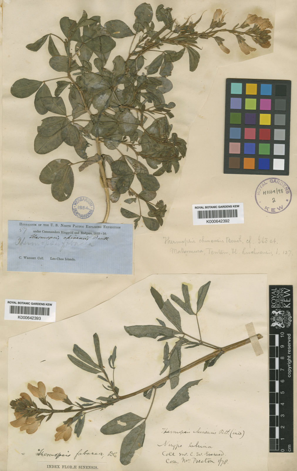 Thermopsis Chinensis Benth Ex S Moore Plants Of The World