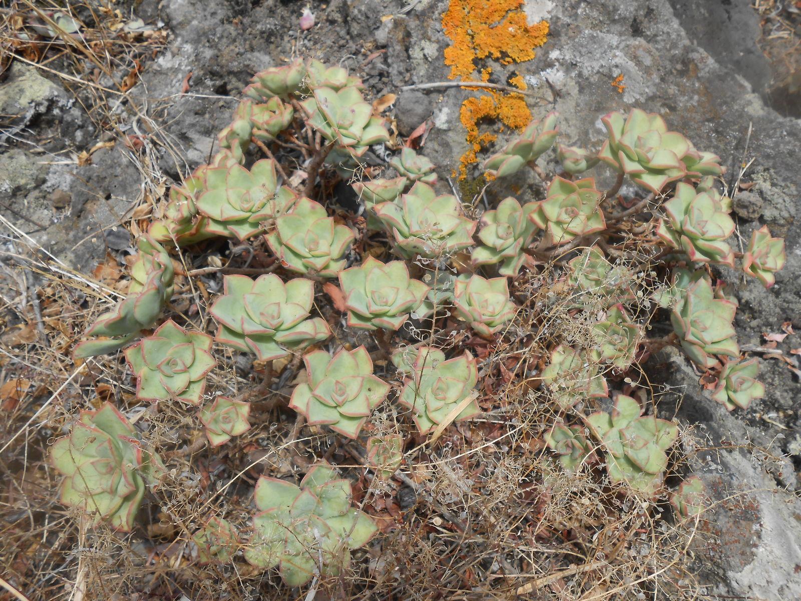 Aeonium Haworthii Webb Berthel Plants Of The World Online Kew Science