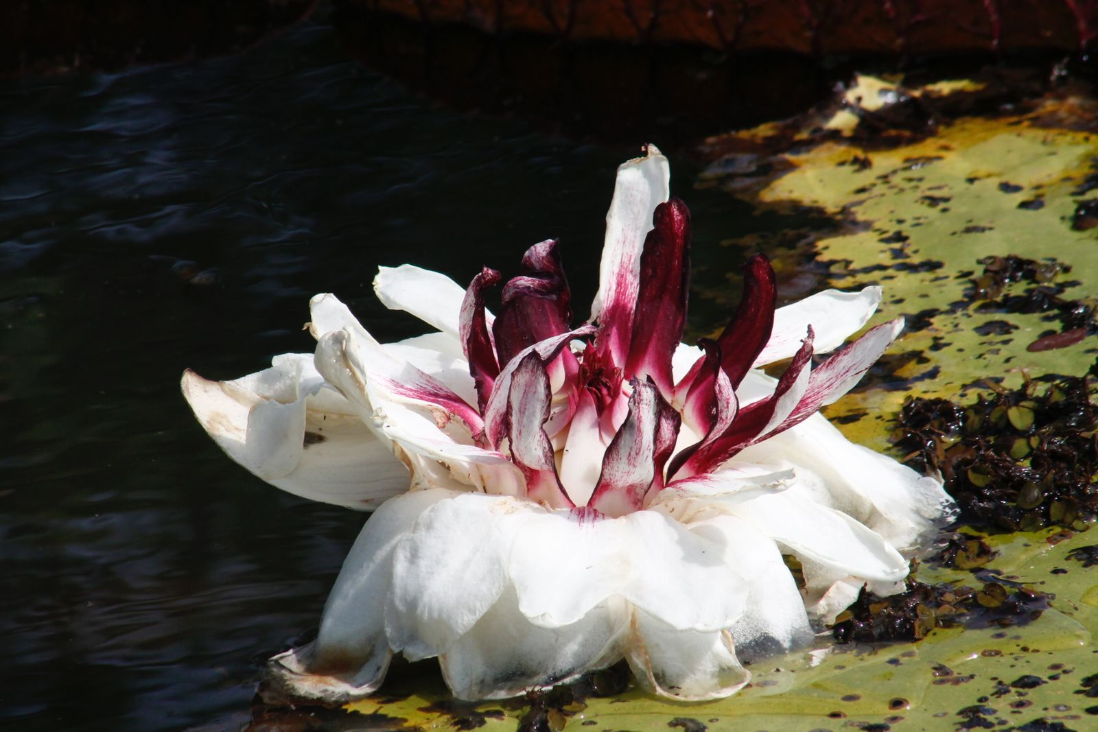 Victoria Amazonica Poepp Klotzsch Plants Of The World Online